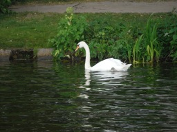 Swans are A-holes